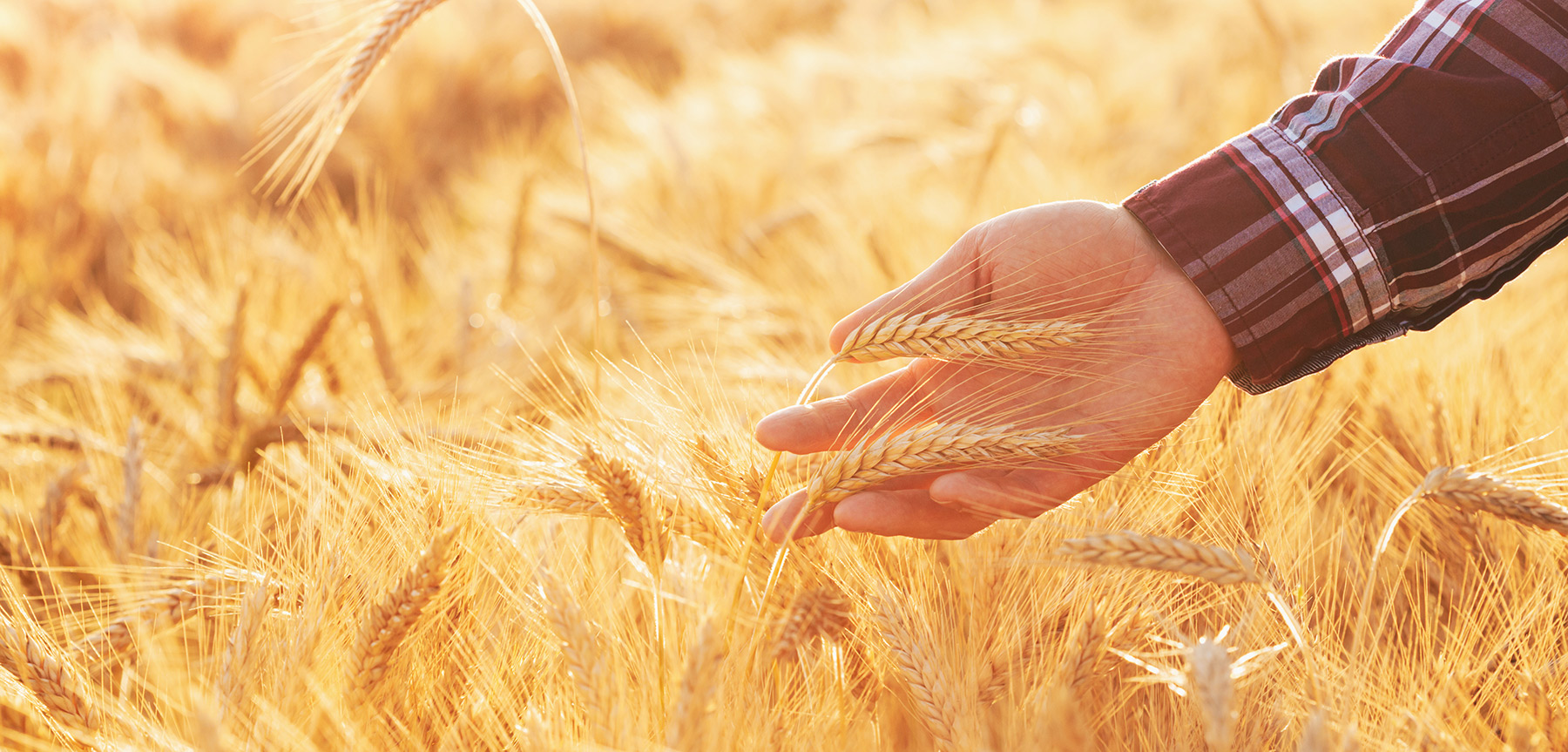 Man runs hand through wheat